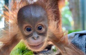 A baby orangutan smiling.