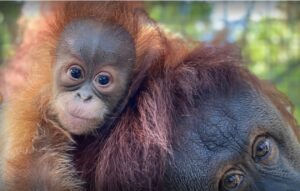 A baby orangutan.