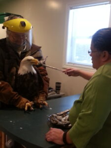A man and woman feeding a bald eagle.
