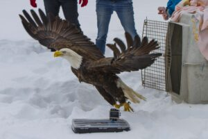 A bald eagle being released into the wild.